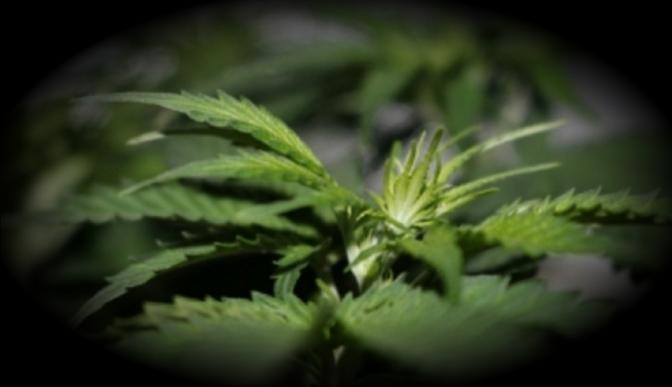 Decomisan plantas de marihuana en el municipio de Maní