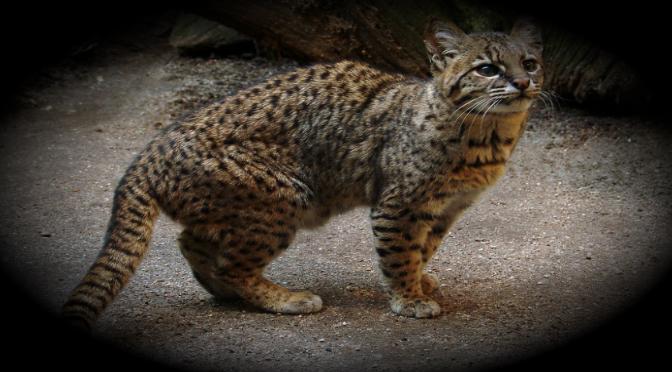 Gato güiña está en peligro de extinción