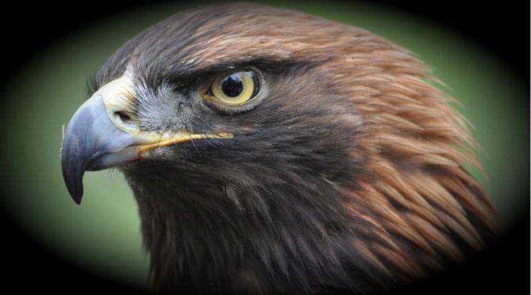 Águila Real en México está en peligro de extinción, según experto