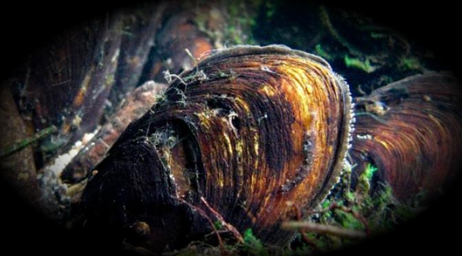 Colocan en lista de especies en peligro a mejillón de agua dulce texano